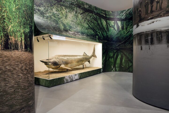 Steur in Biesbosch Museum